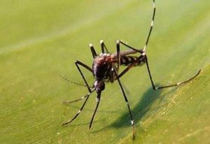 MLA mousitque tigre Aedes albopictus ARS OI
