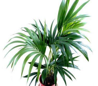kentia - palmier